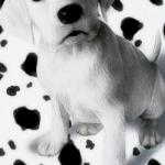 tema dalmatian