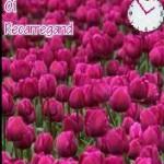 tema XP Pink